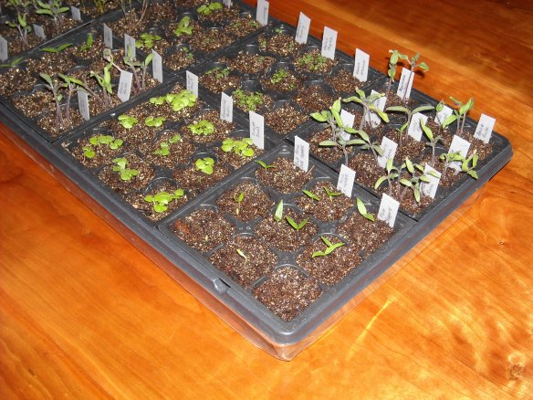 Seedlings in seed starting tray.