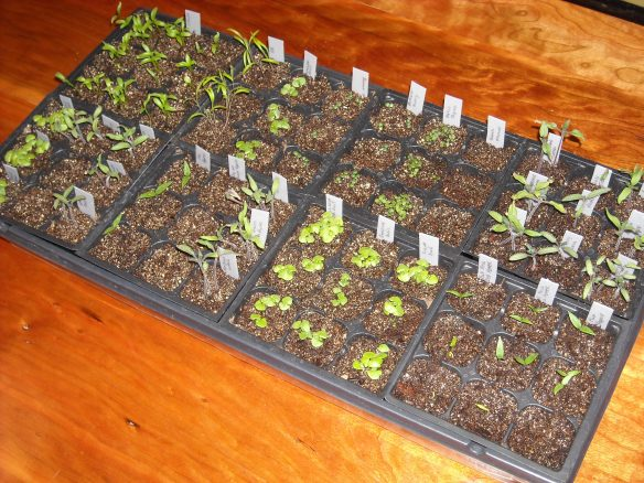 Tray of seedlings