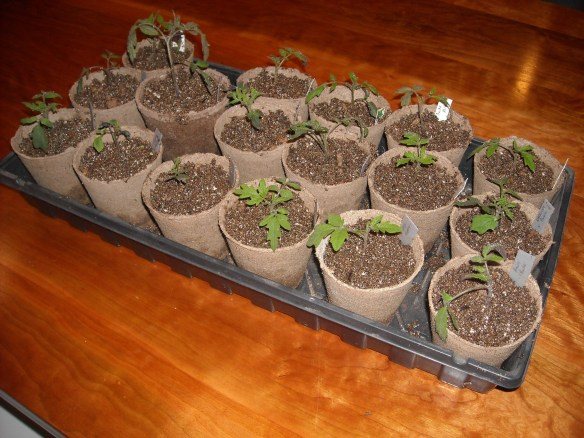 Tray of completed tomato transplants.