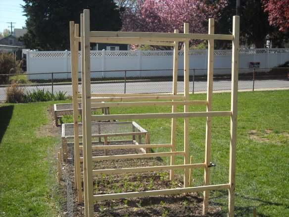Pea fences installed in the garden.
