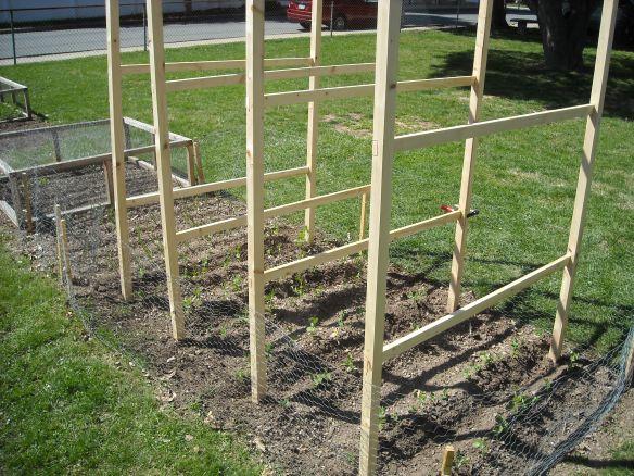 Peas fences in the garden.