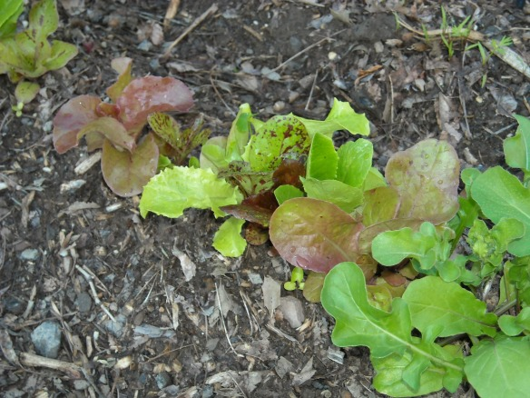 Close up of some lettuce plants