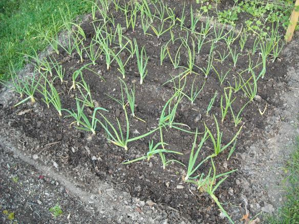 Several rows of spring onions.