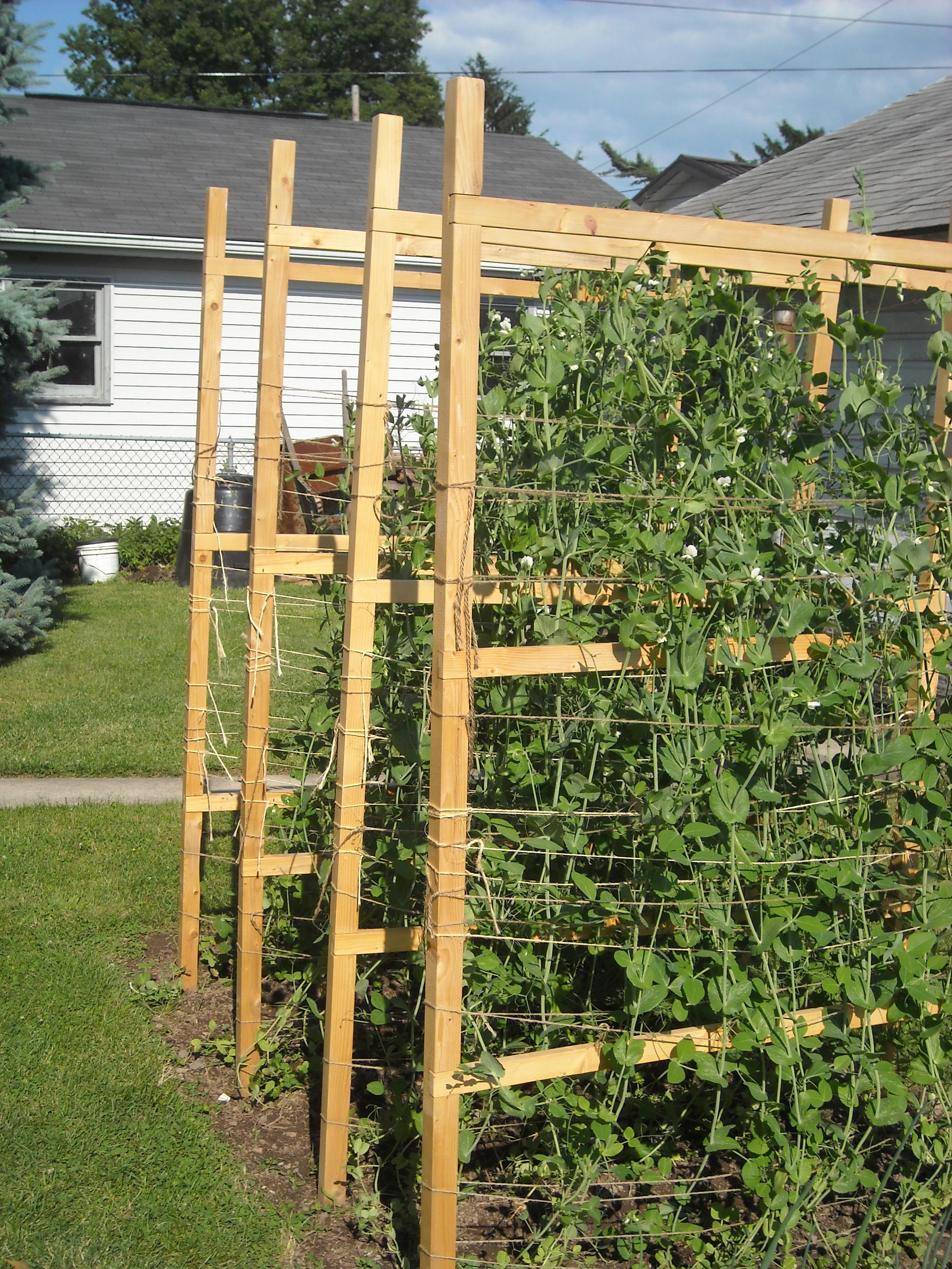 Pea fences load with peas.