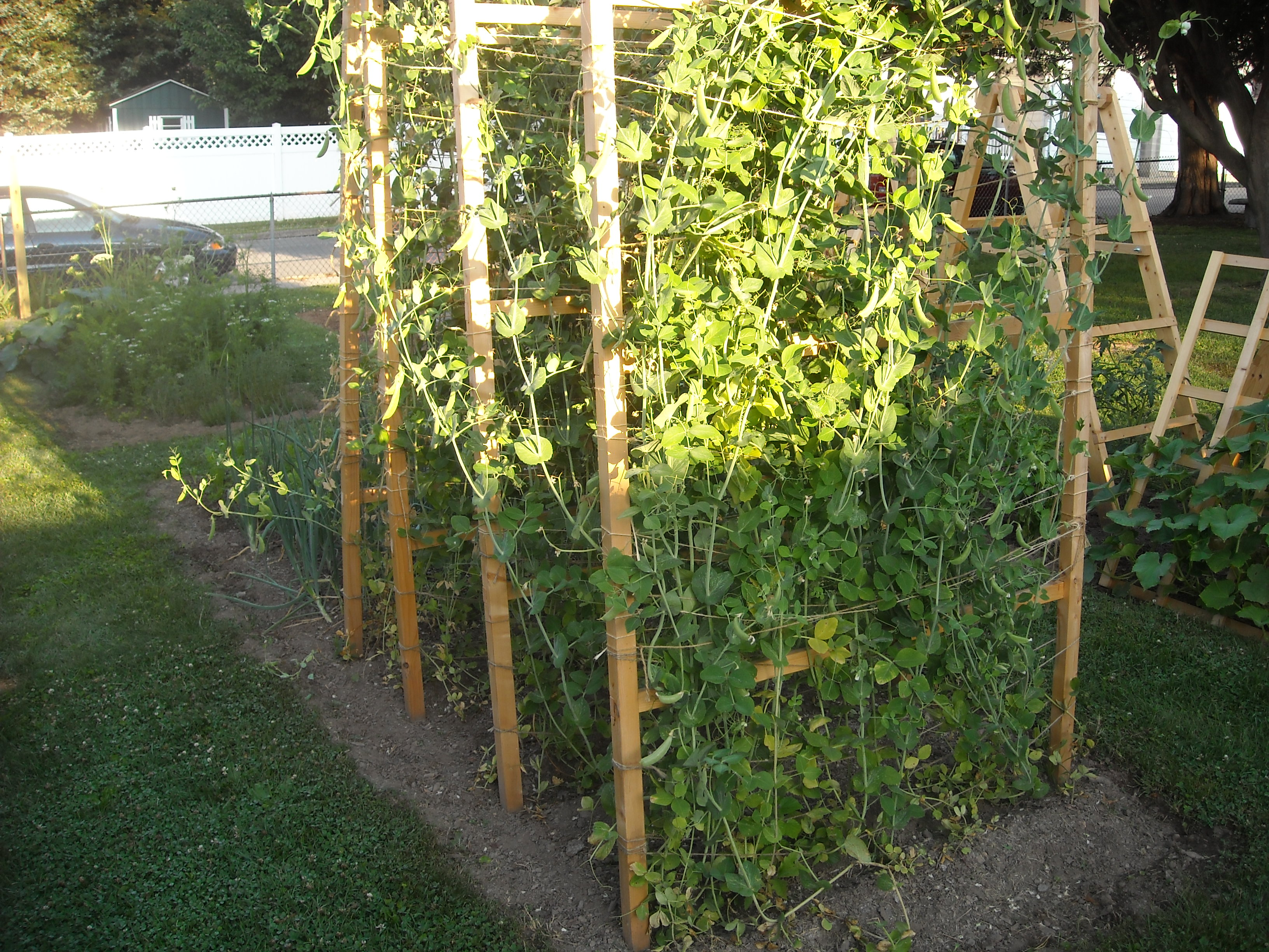 Sugar snap peas growing on pea fences.