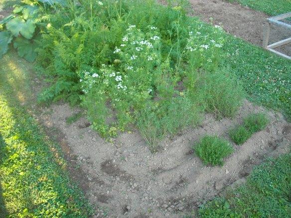 Herbs growing in the garden.