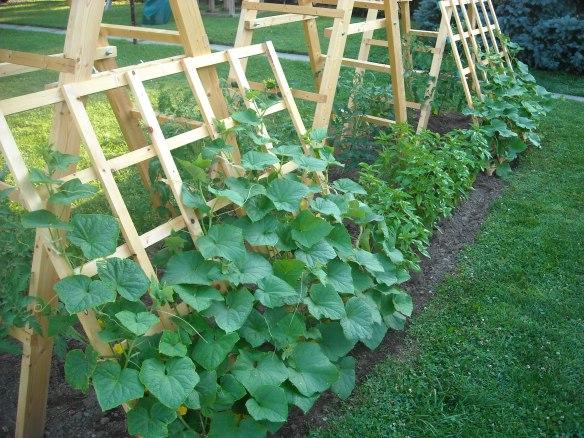 Tomato ladder and cucumber trellis.