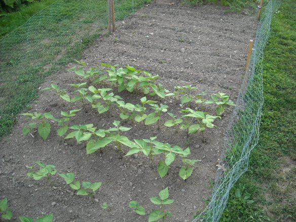 Garden plot with green beans.