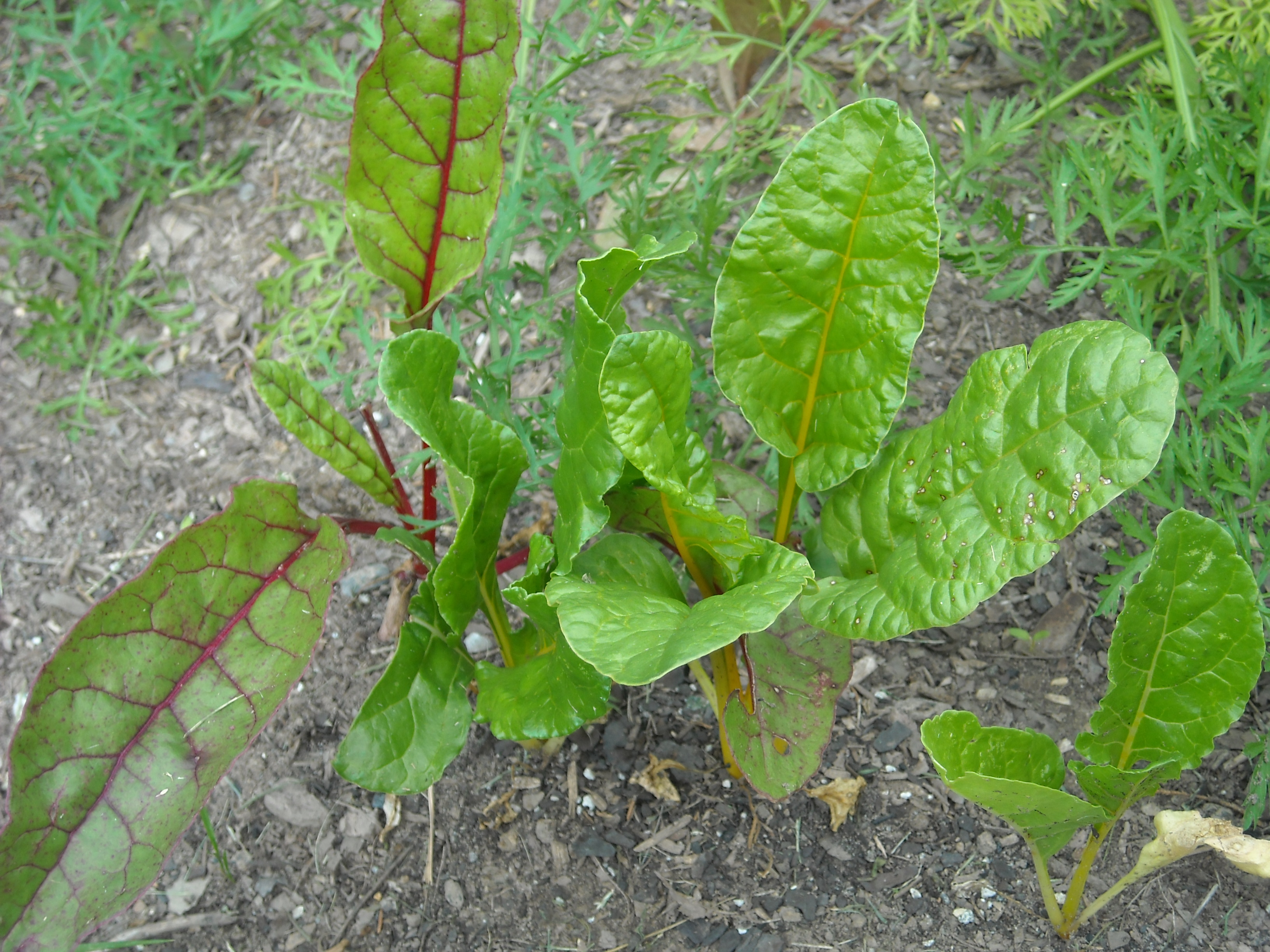 Swiss chard plants in the garden.