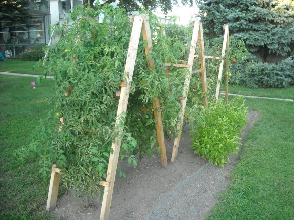 Tomato plants growing on tomato ladders and basil plants.