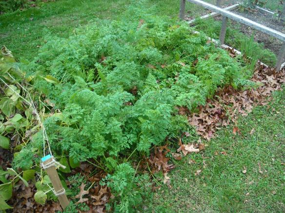 Carrots growing in the winter garden.