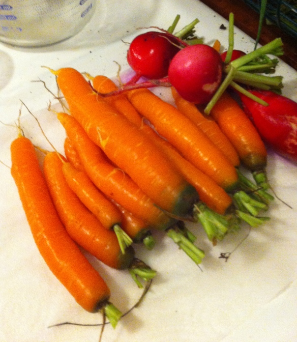 Carrots and Radishes from the winter garden