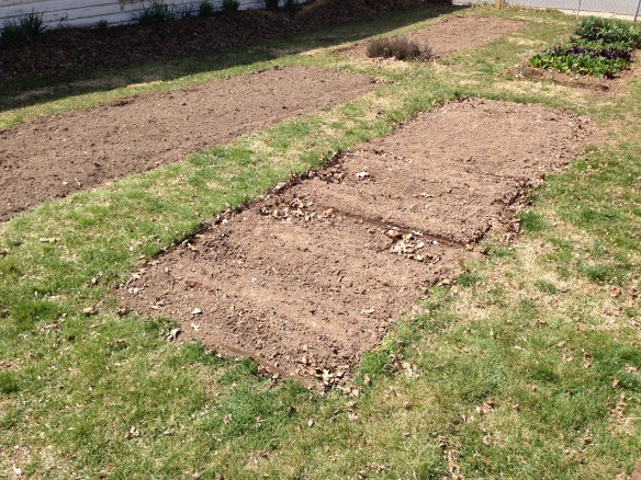 Peas planted in the spring garden