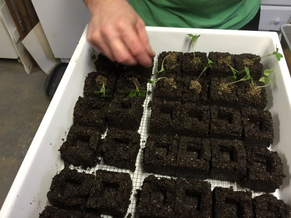 Soil blocks with seedlings