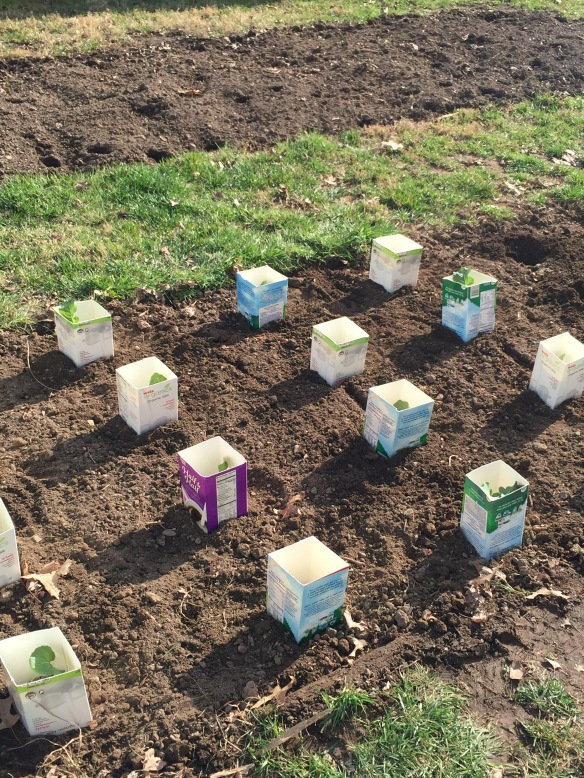 Lots of broccoli and cabbage plants protected by milk cartons.