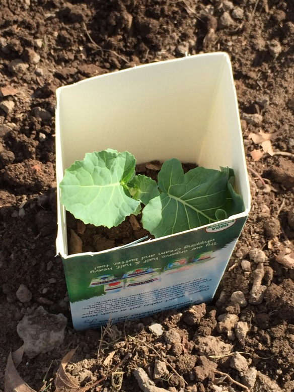 A broccoli plant protected by a milk carton.