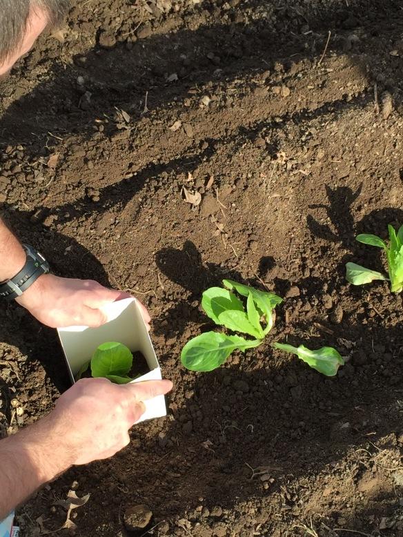 Placing a milk carton around a lettuce plant
