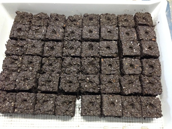 Soil block in the tray