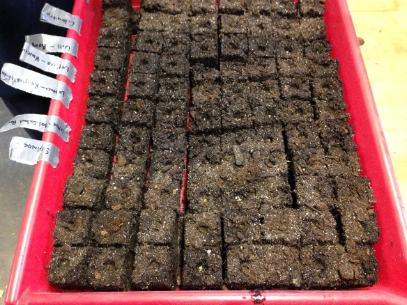 "1-1/2"" soil blocks in tray"