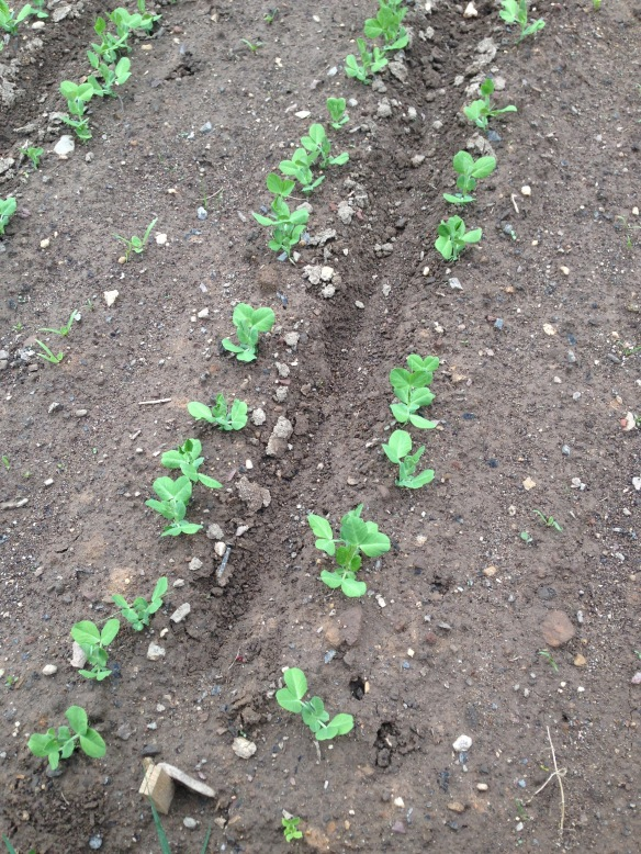 Sugar Snap Peas in rows
