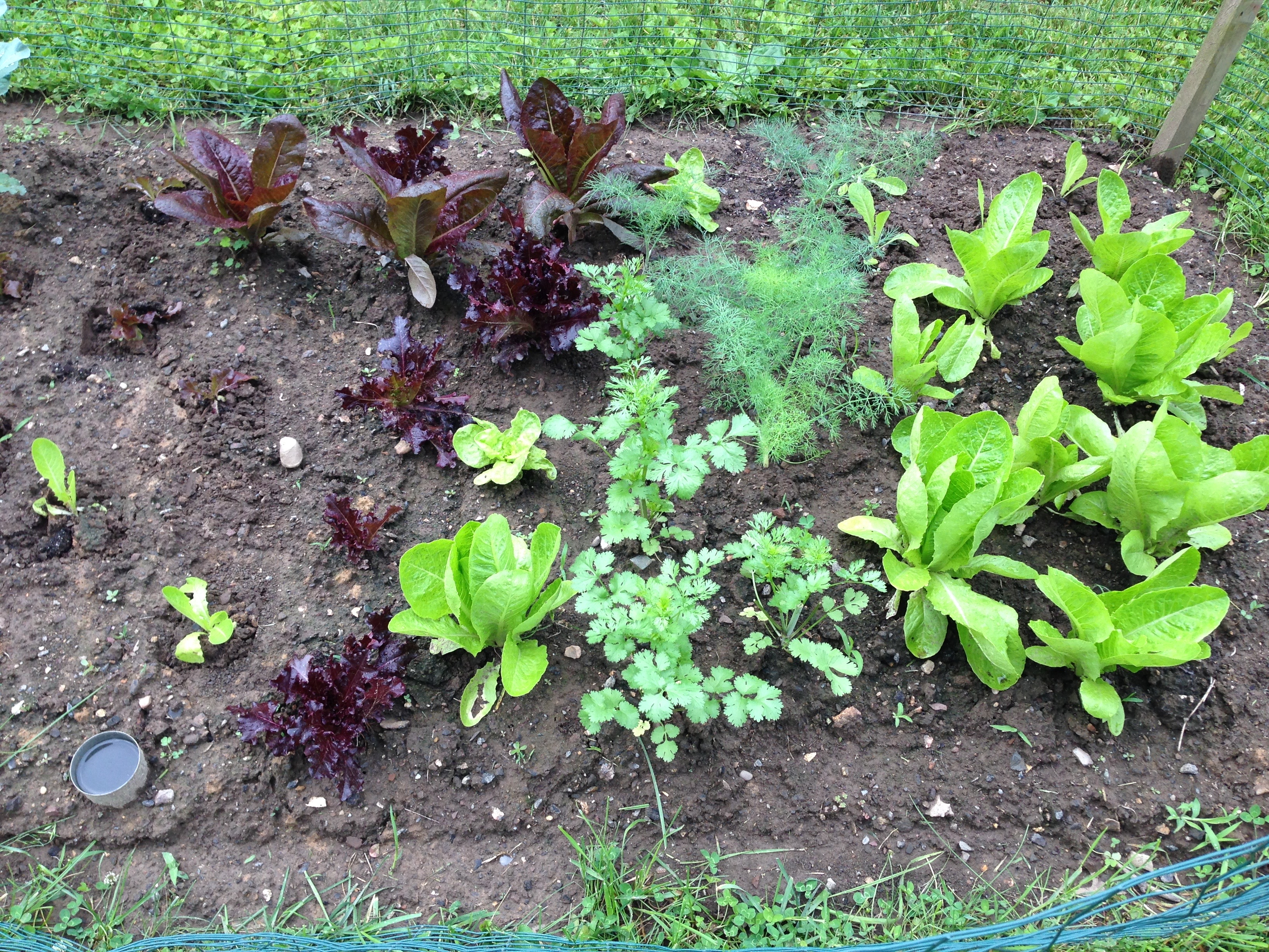 Lettuce and Herbs