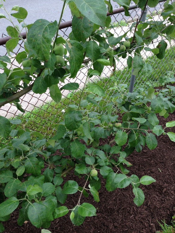 Apples on the espalier